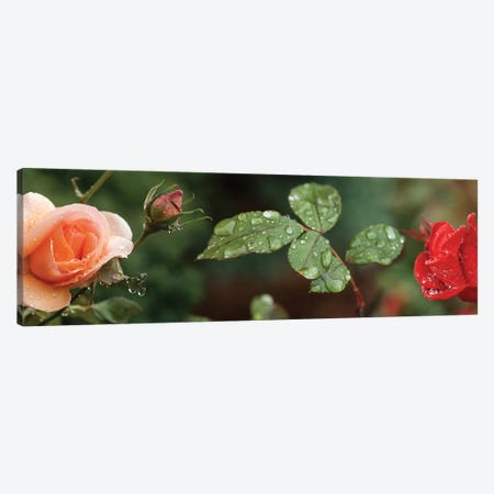 Raindrop On Rose Flowers And Leaves Canvas Print #PIM14807} by Panoramic Images Canvas Artwork