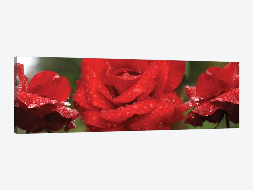 Raindrops On Red Rose Flowers by Panoramic Images 1-piece Canvas Art