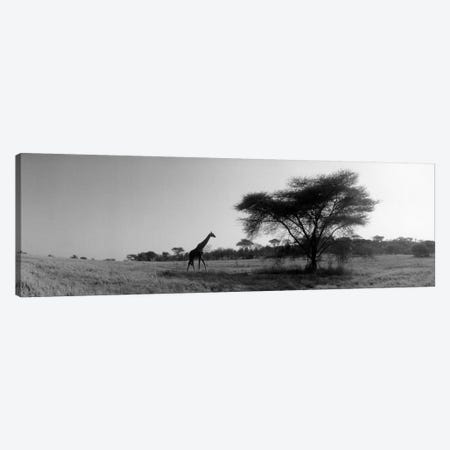 Lone Giraffe in B&W, Kenya, Africa  Canvas Print #PIM1480} by Panoramic Images Canvas Art Print