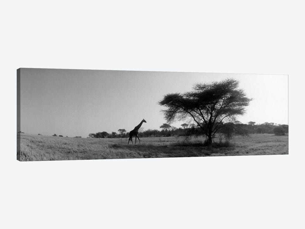 Lone Giraffe in B&W, Kenya, Africa  by Panoramic Images 1-piece Canvas Print