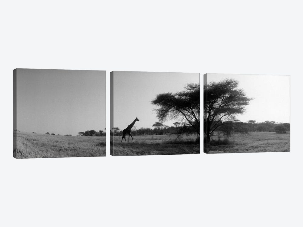 Lone Giraffe in B&W, Kenya, Africa  by Panoramic Images 3-piece Canvas Art Print