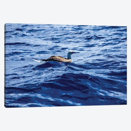 Seabird Swimming In The Pacific Ocean, Bora Bora, Society Islands, French Polynesia Canvas Print #PIM14900} by Panoramic Images Canvas Artwork