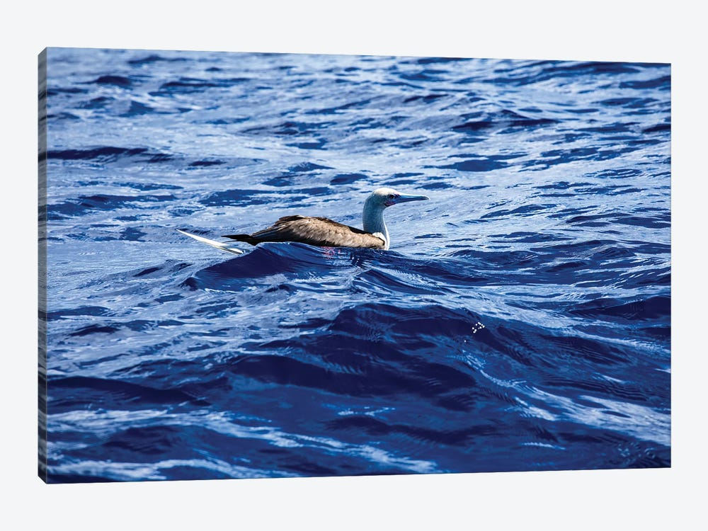 Seabird Swimming In The Pacific Ocean, Bora Bora, Society Islands, French Polynesia by Panoramic Images 1-piece Canvas Wall Art