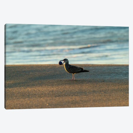 Seagull Carrying Stone Ball In Its Mouth, Seal Beach, Orange County, California, USA Canvas Print #PIM14901} by Panoramic Images Canvas Art