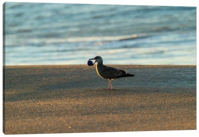 Seagull Carrying Stone Ball In Its Mouth, Seal Beach, Orange County, California, USA Canvas Art Print