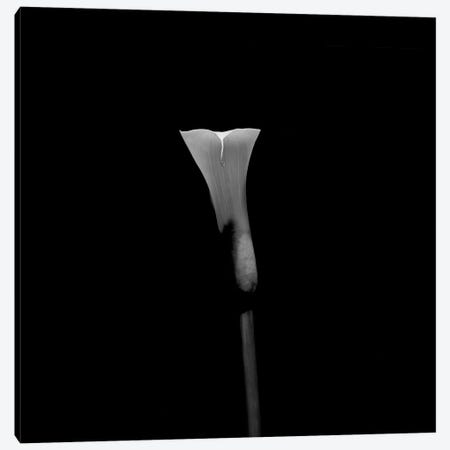 Still Life Shot Of Calla Lily Flower Canvas Print #PIM14935} by Panoramic Images Canvas Artwork