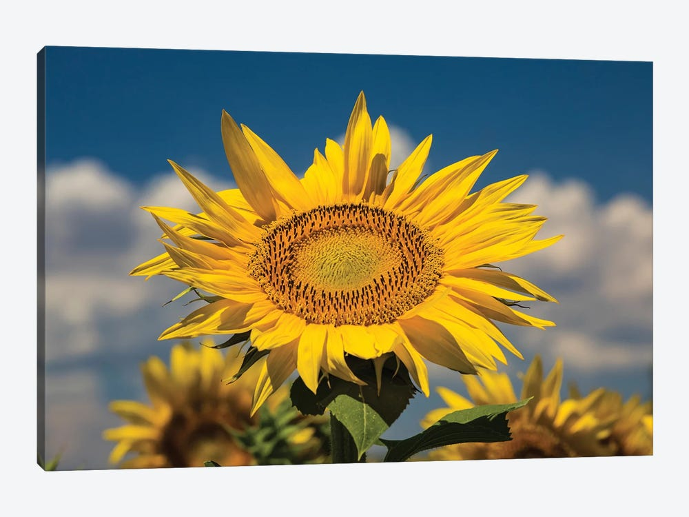 Sunflower Growing In A Field by Panoramic Images 1-piece Canvas Print