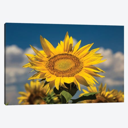 Sunflower Growing In A Field 3-Piece Canvas #PIM14941} by Panoramic Images Canvas Artwork
