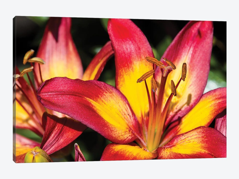 Tiger Lily Flowers by Panoramic Images 1-piece Canvas Wall Art