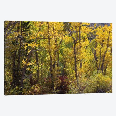 Trees In A Forest, Loop Falls, June Lake, California, USA Canvas Print #PIM14974} by Panoramic Images Canvas Artwork