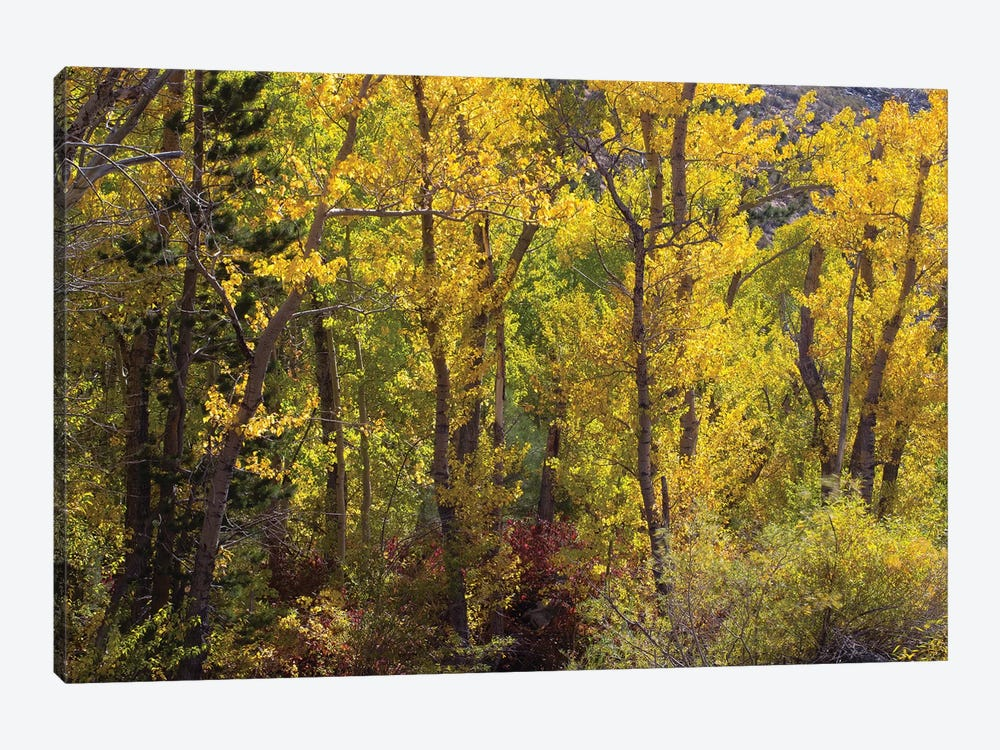 Trees In A Forest, Loop Falls, June Lake, California, USA by Panoramic Images 1-piece Canvas Print
