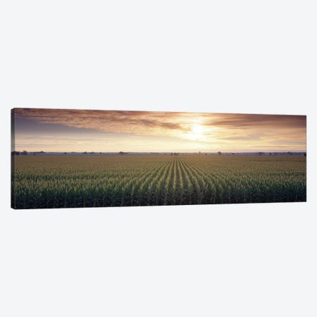 View Of Corn Field At Sunrise, Sacramento, California, USA Canvas Print #PIM14994} by Panoramic Images Canvas Art