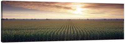 View Of Corn Field At Sunrise, Sacramento, California, USA Canvas Art Print