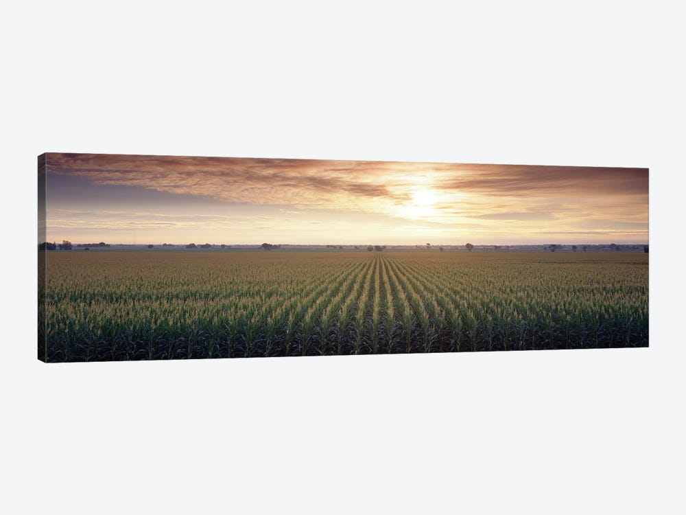 View Of Corn Field At Sunrise, Sacramento, California, USA by Panoramic Images 1-piece Art Print