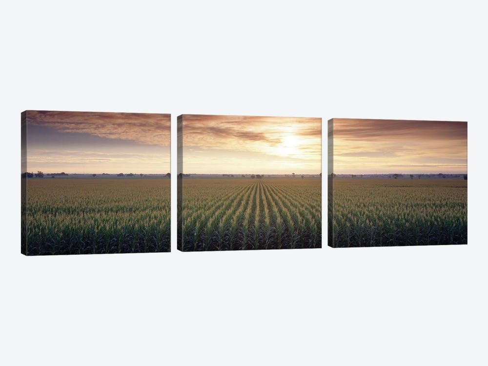 View Of Corn Field At Sunrise, Sacramento, California, USA by Panoramic Images 3-piece Canvas Art Print