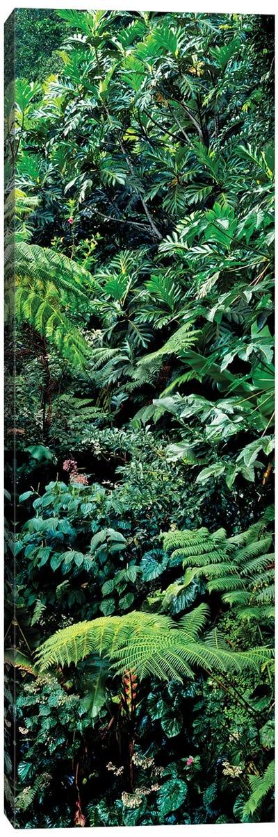 View Of Rainforest, Papillote Wilderness Retreat And Nature Sanctuary, Dominica, Caribbean III Canvas Art Print