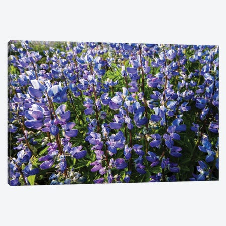 Wildflowers In A Field, Mount Rainier National Park, Washington State, USA Canvas Print #PIM15061} by Panoramic Images Canvas Art