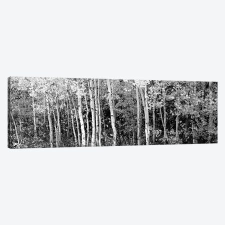 Aspen And Black Hawthorn Trees In A Forest, Grand Teton National Park, Wyoming, USA Canvas Print #PIM15075} by Panoramic Images Canvas Wall Art