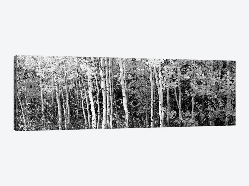 Aspen And Black Hawthorn Trees In A Forest, Grand Teton National Park, Wyoming, USA by Panoramic Images 1-piece Canvas Wall Art