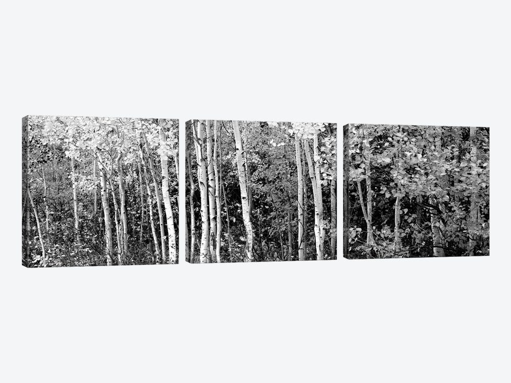 Aspen And Black Hawthorn Trees In A Forest, Grand Teton National Park, Wyoming, USA by Panoramic Images 3-piece Canvas Art