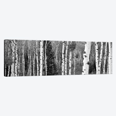 Aspen And Conifers Trees In A Forest, Granite Canyon, Grand Teton National Park, Wyoming, USA Canvas Print #PIM15076} by Panoramic Images Canvas Wall Art