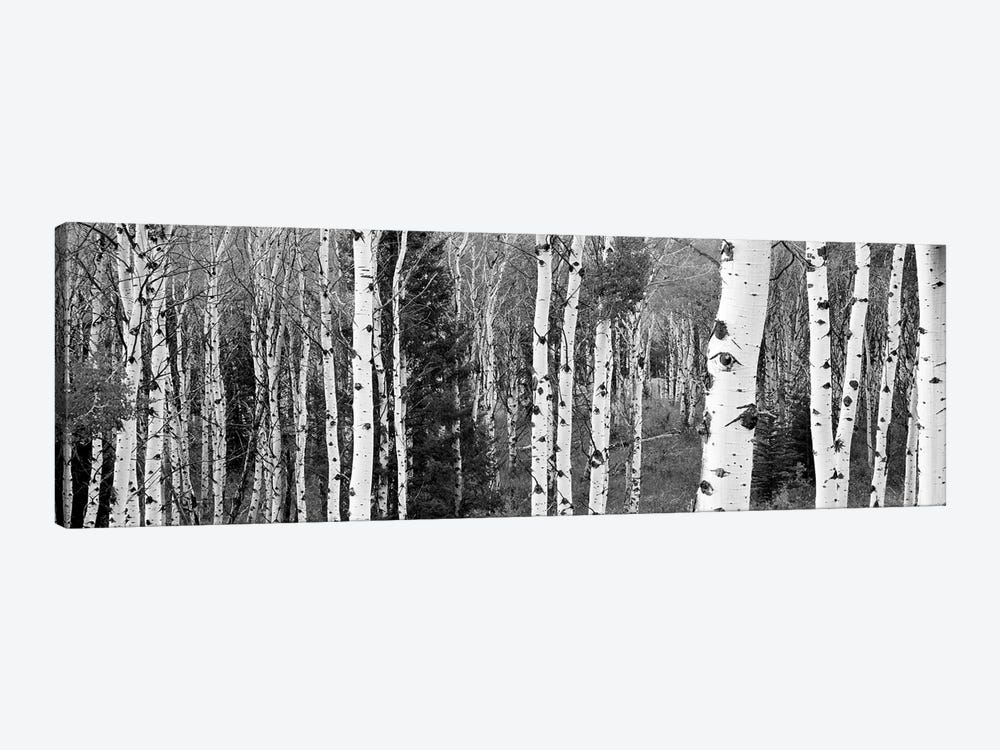 Aspen And Conifers Trees In A Forest, Granite Canyon, Grand Teton National Park, Wyoming, USA by Panoramic Images 1-piece Canvas Art Print