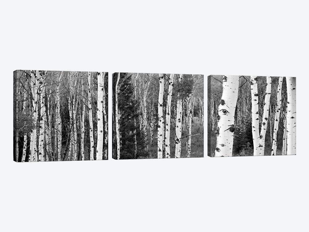 Aspen And Conifers Trees In A Forest, Granite Canyon, Grand Teton National Park, Wyoming, USA by Panoramic Images 3-piece Canvas Art Print