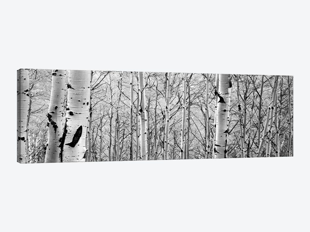Aspen Trees In A Forest by Panoramic Images 1-piece Canvas Art