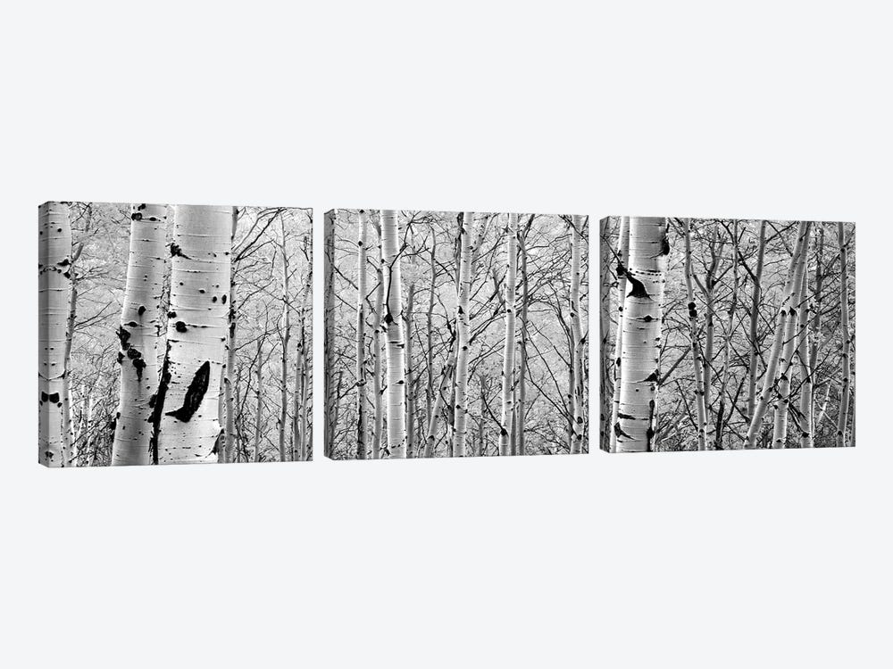 Aspen Trees In A Forest by Panoramic Images 3-piece Canvas Art