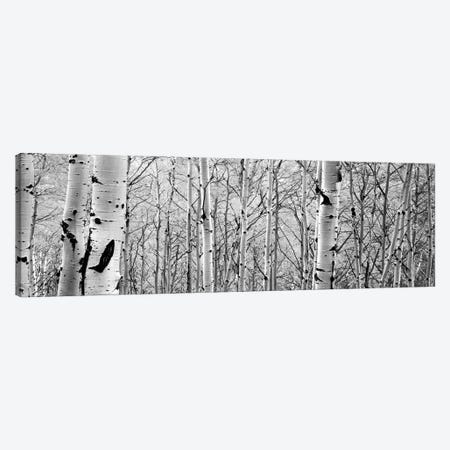 Aspen Trees In A Forest 3-Piece Canvas #PIM15077} by Panoramic Images Canvas Wall Art