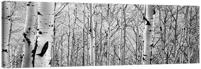 Aspen Trees In A Forest Canvas Art Print