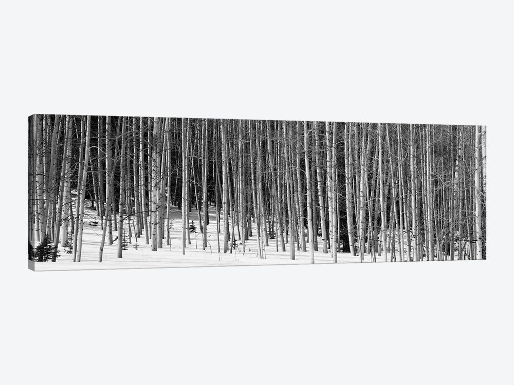 Aspen Trees In A Forest, Chama, New Mexico, USA by Panoramic Images 1-piece Art Print
