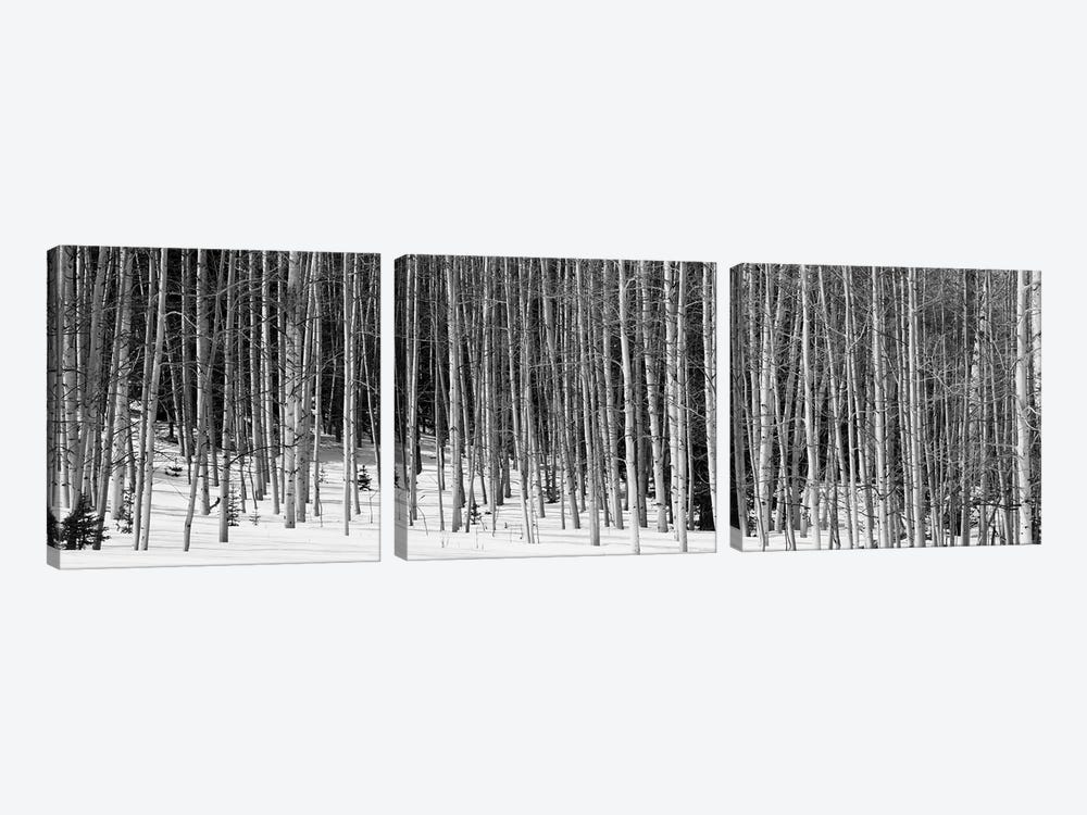 Aspen Trees In A Forest, Chama, New Mexico, USA by Panoramic Images 3-piece Canvas Art Print