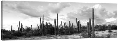 Cardon Cactus Plants In A Forest, Loreto, Baja California Sur, Mexico Canvas Art Print