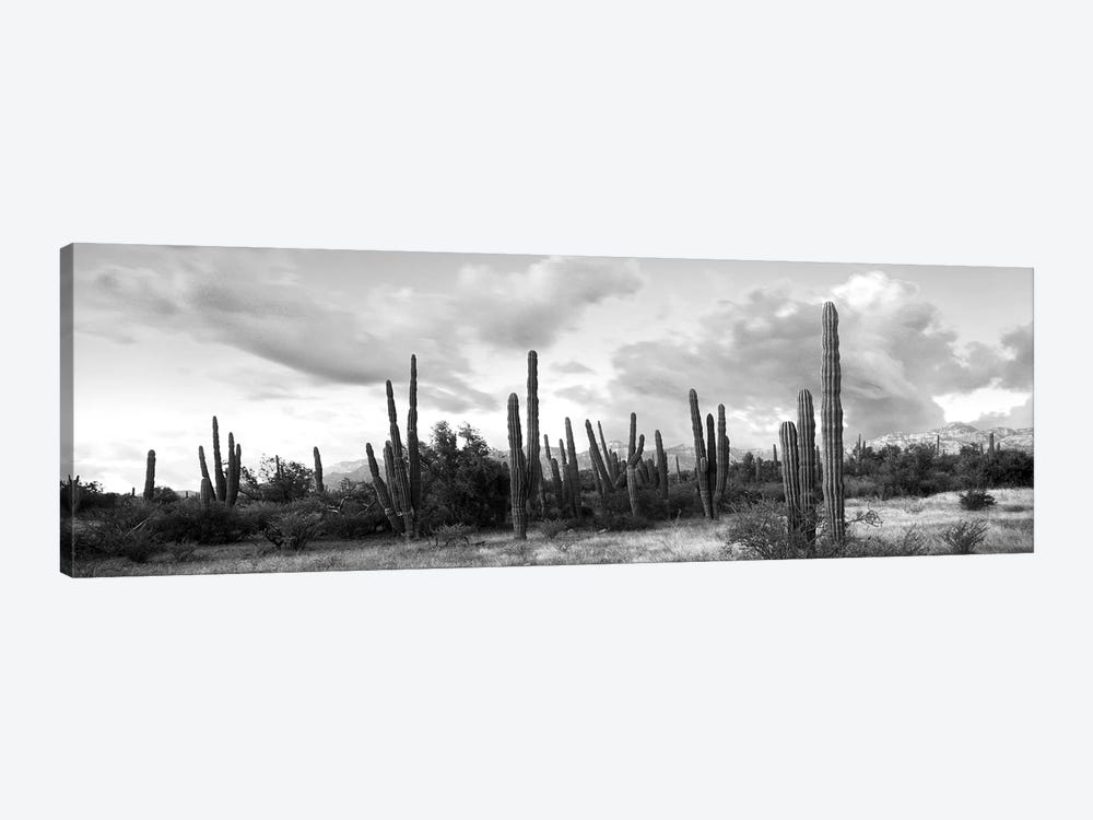 Cardon Cactus Plants In A Forest, Loreto, Baja California Sur, Mexico by Panoramic Images 1-piece Art Print