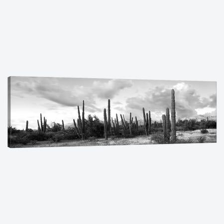 Cardon Cactus Plants In A Forest, Loreto, Baja California Sur, Mexico 3-Piece Canvas #PIM15106} by Panoramic Images Canvas Art