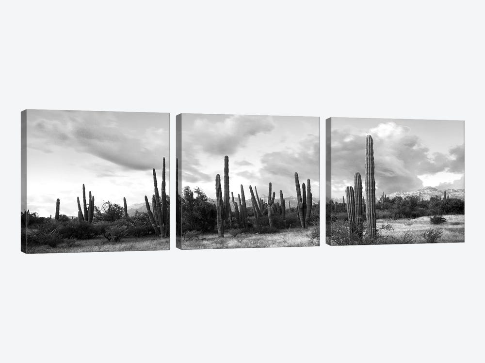 Cardon Cactus Plants In A Forest, Loreto, Baja California Sur, Mexico by Panoramic Images 3-piece Art Print