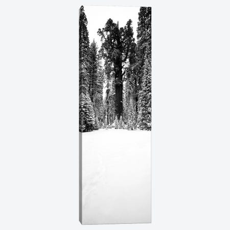 General Sherman Trees In A Snow Covered Landscape, Sequoia National Park, California, USA Canvas Print #PIM15134} by Panoramic Images Art Print