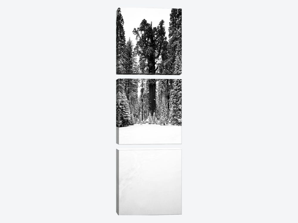 General Sherman Trees In A Snow Covered Landscape, Sequoia National Park, California, USA by Panoramic Images 3-piece Canvas Wall Art