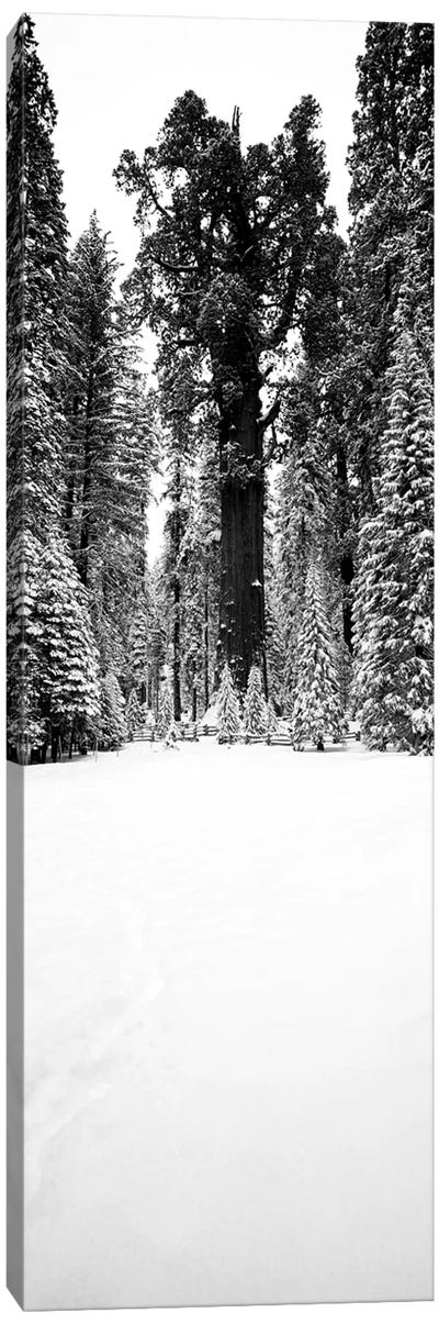 General Sherman Trees In A Snow Covered Landscape, Sequoia National Park, California, USA Canvas Art Print