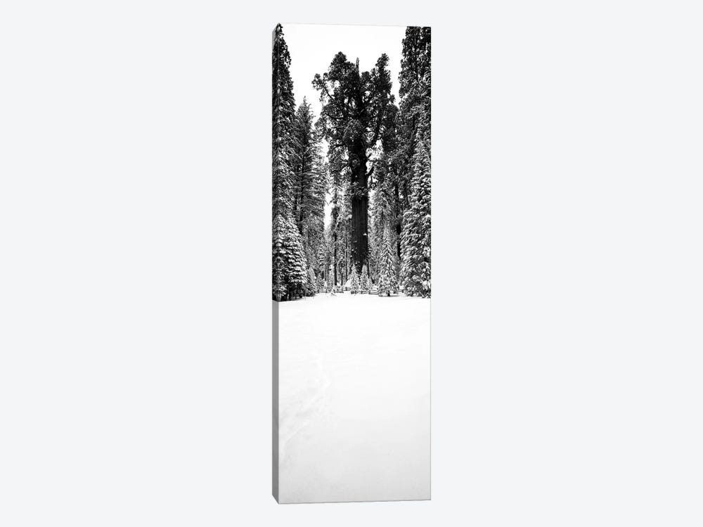 General Sherman Trees In A Snow Covered Landscape, Sequoia National Park, California, USA by Panoramic Images 1-piece Canvas Artwork
