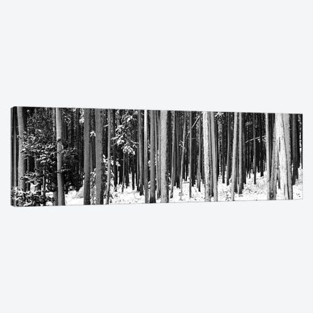 Lodgepole Pines And Snow Grand Teton National Park, WY Canvas Print #PIM15170} by Panoramic Images Canvas Art