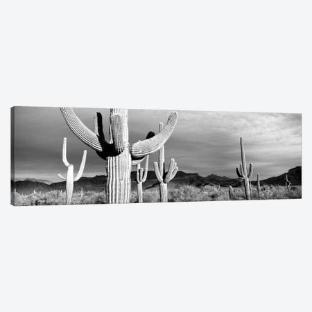 Organ Pipe National Monument, Arizona, USA Canvas Print #PIM15199} by Panoramic Images Canvas Art