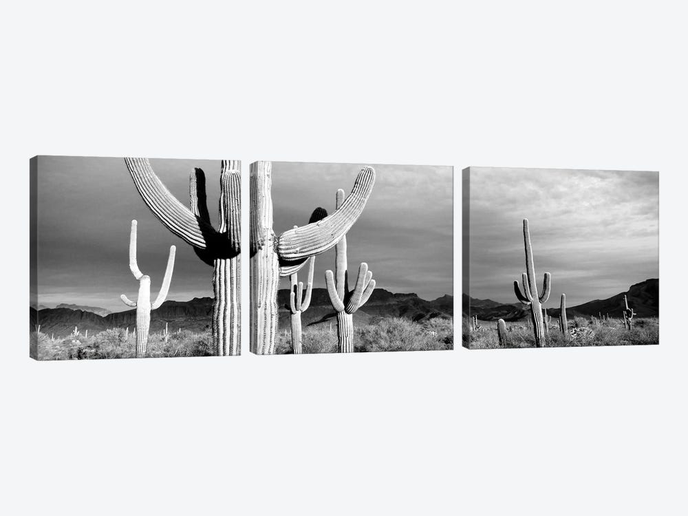 Organ Pipe National Monument, Arizona, USA by Panoramic Images 3-piece Art Print