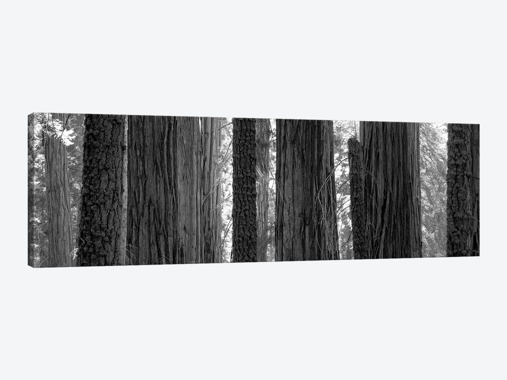 Sequoia Grove Sequoia National Park California USA by Panoramic Images 1-piece Canvas Print