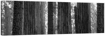 Sequoia Grove Sequoia National Park California USA Canvas Art Print