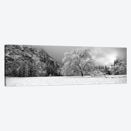 Snow Covered Oak Tree In A Valley, Yosemite National Park, California, USA Canvas Print #PIM15230} by Panoramic Images Art Print