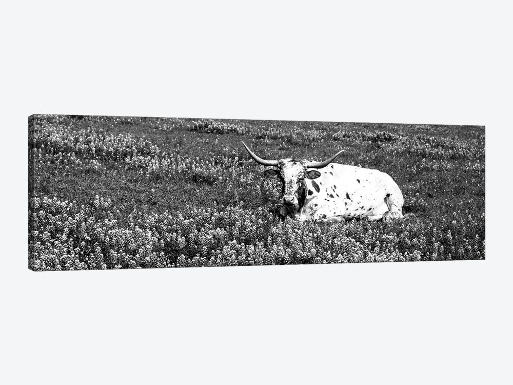 Texas Longhorn Cow Sitting On A Field, Hill County, Texas, USA by Panoramic Images 1-piece Canvas Print