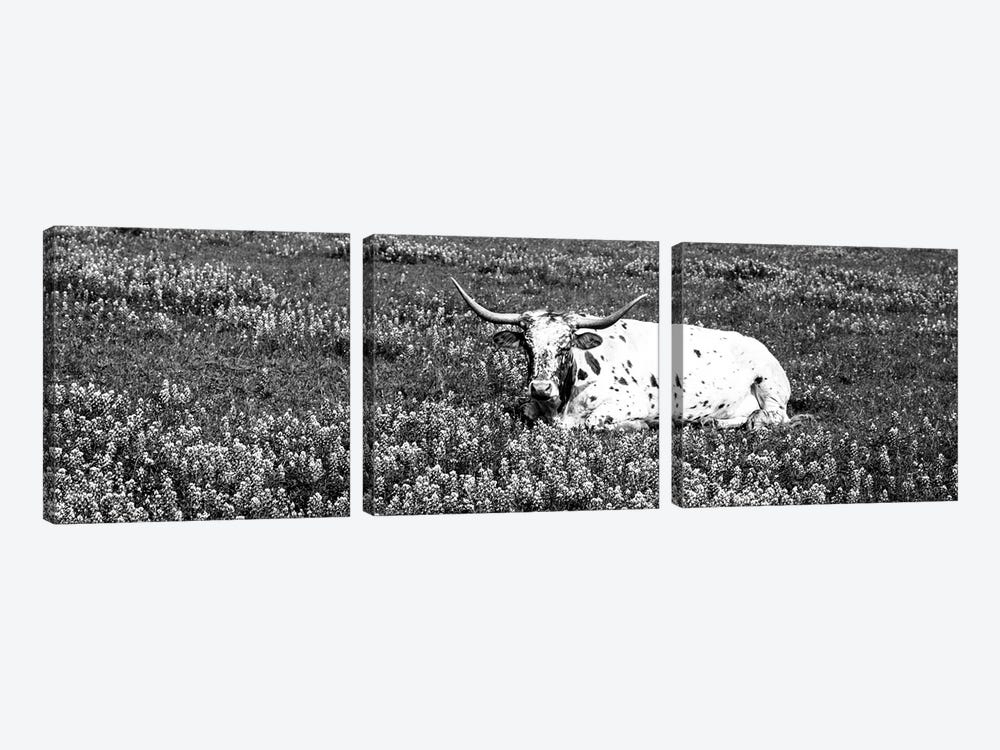 Texas Longhorn Cow Sitting On A Field, Hill County, Texas, USA by Panoramic Images 3-piece Art Print