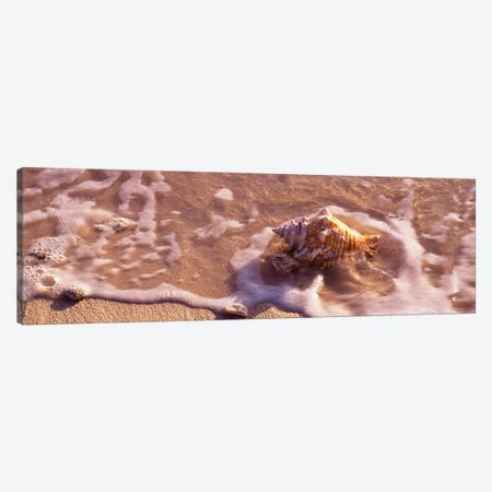 Conch Shell On The Beach, Grand Cayman, Cayman Islands,  Canvas Print #PIM15271} by Panoramic Images Canvas Art Print